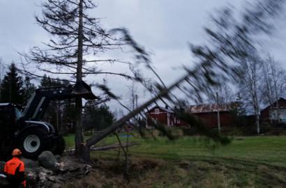 Puuta kaatuu…